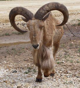 AOUDAD-SHEEP-272x300