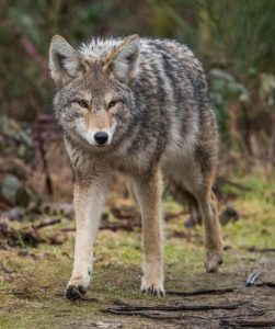 TX-coyote-hunting-251x300