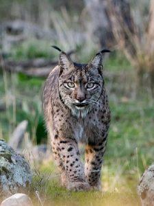 Texas-Bobcat-hunting-6-225x300
