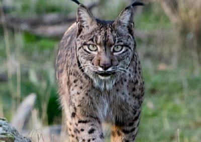 Texas bobcat hunts