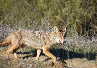 texas cayote hunts