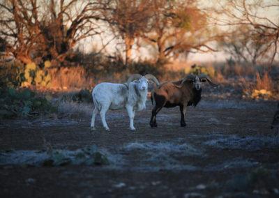 texas predator hunting